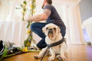 Hochzeitsfloristik kleiner Hund Mops gelbe Hortensien im Hintergrund